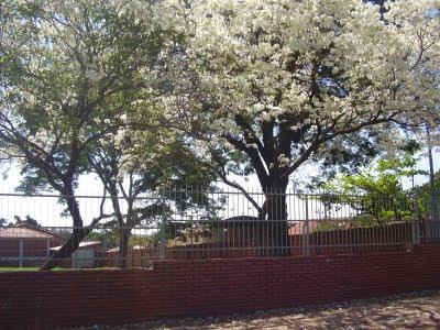tajy de flores blancas en predio del colegio Gutenberg, Paraguay