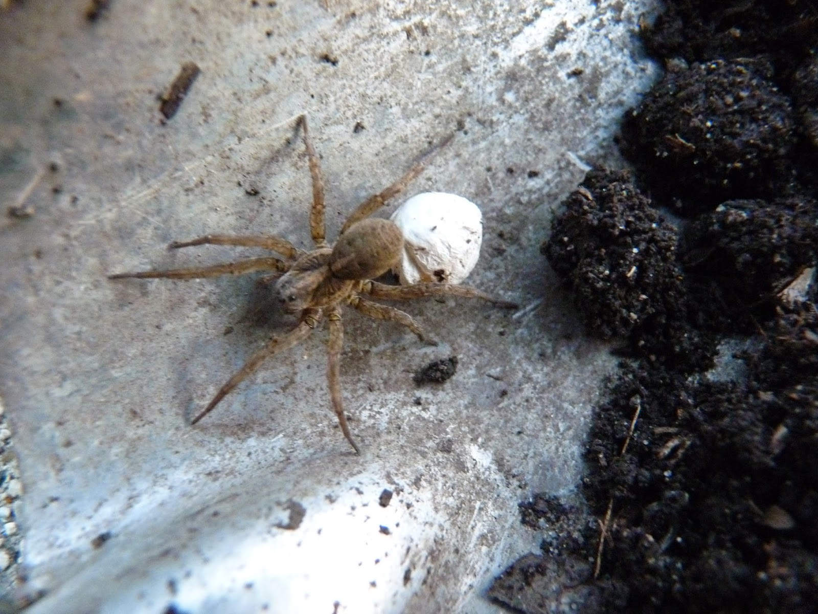 Brown recluse spider - Wikipedia