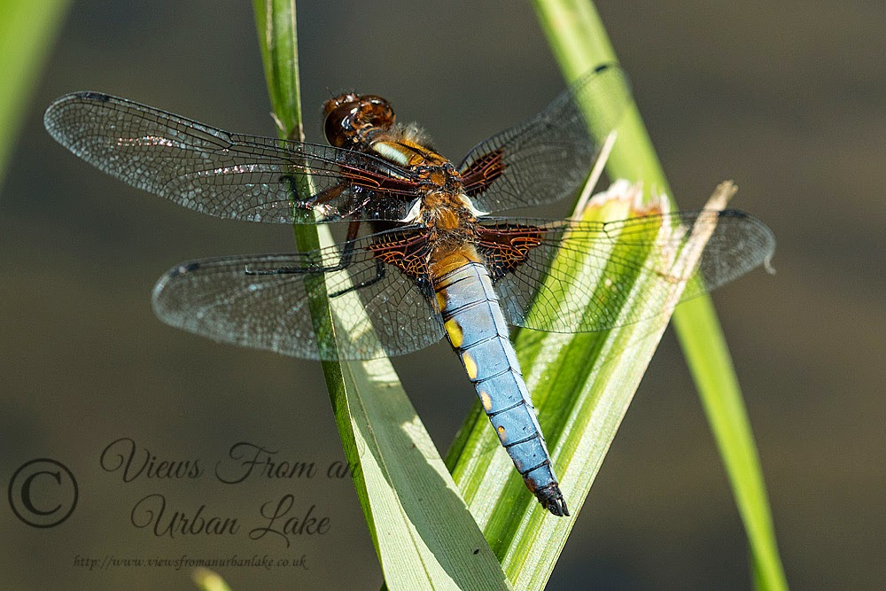 Broad-bodied Chaser - Loughton Valley Park, Milton Keynes
