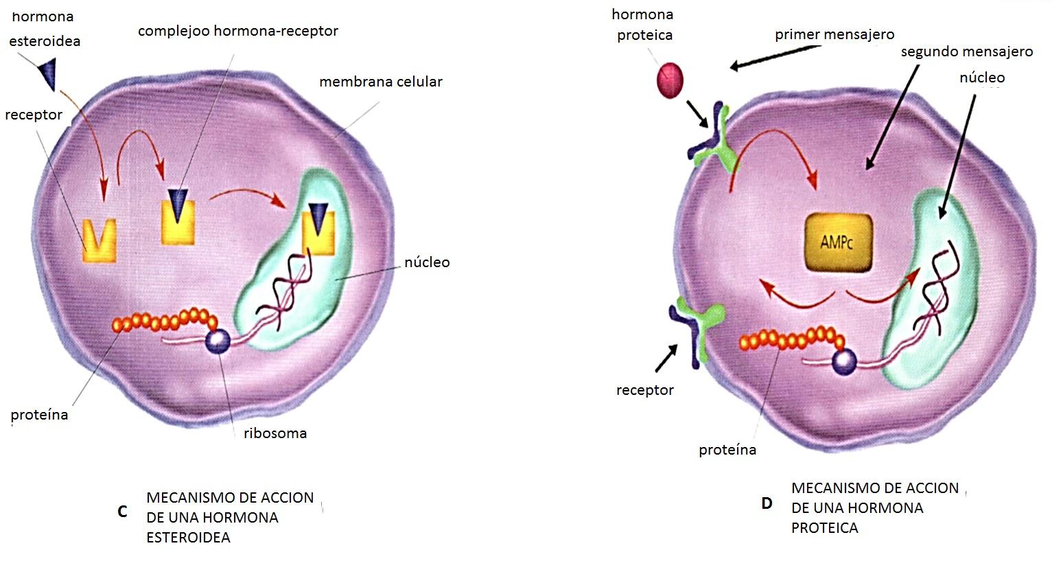 glandulas esteroideas