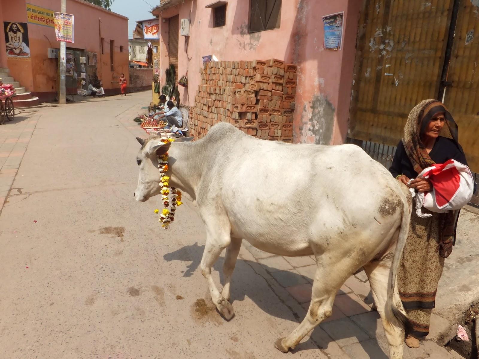 корова и индуска
