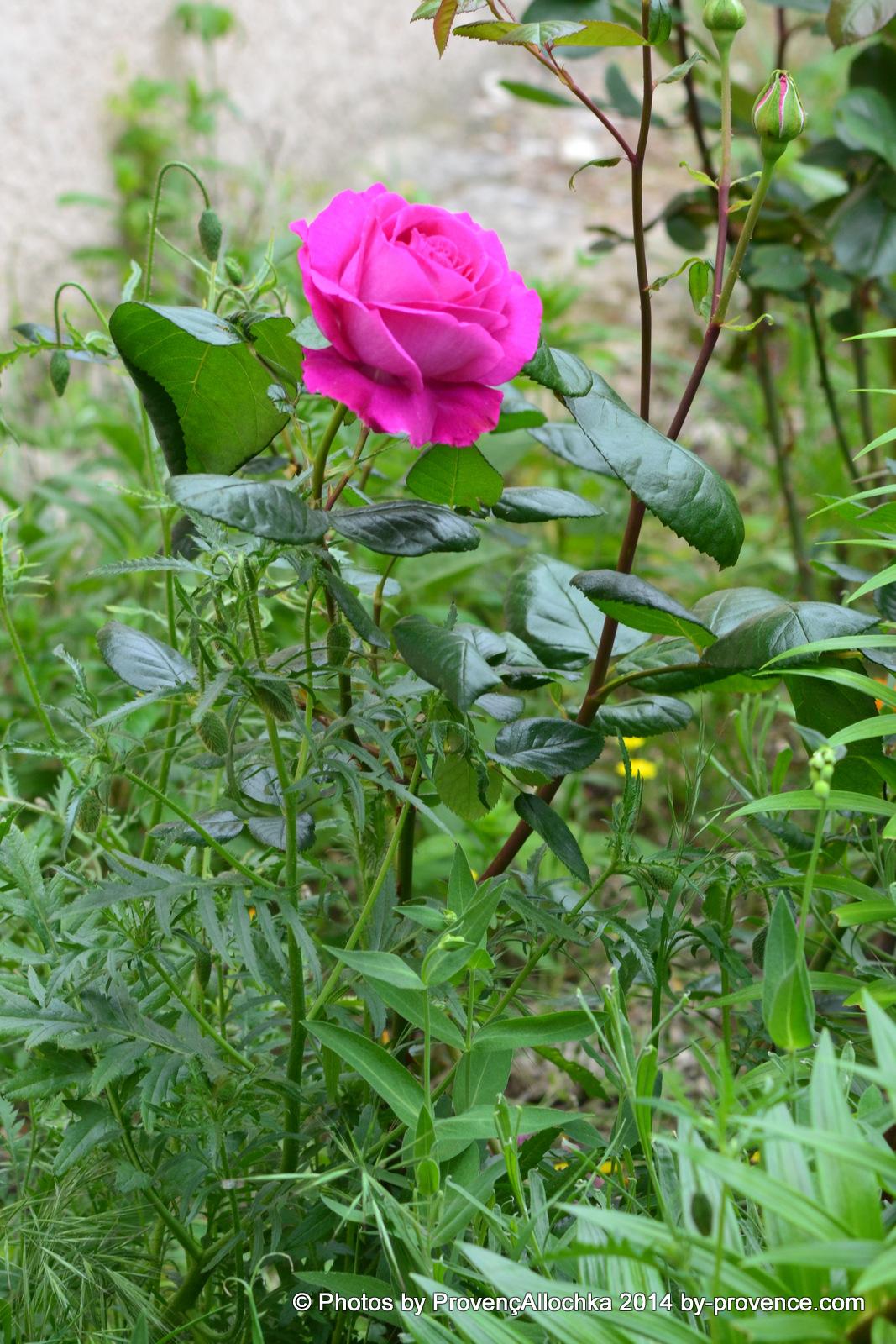 patio,rose
