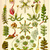 Bryophytes in the book - Kunstformen der Natur by Ernst Haeckel (1904)