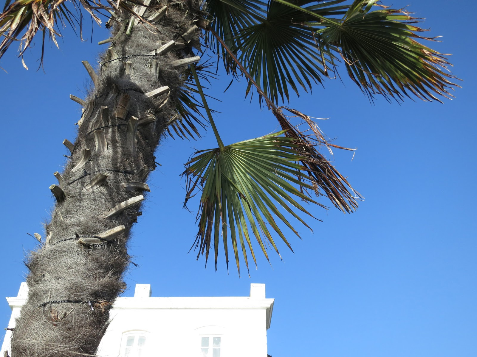 Tree (perhaps Windmill Palm?) with white building and blue sky.