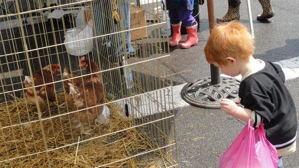 A boy peers at chickens at an event in Sewickley