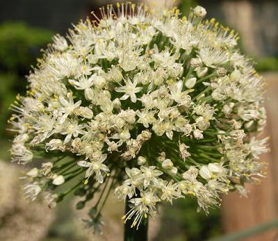 أزهار البصل
