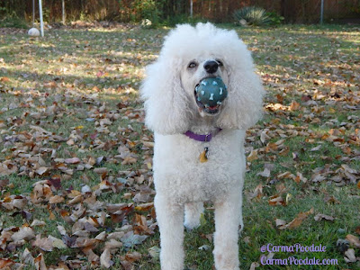 Carma Poodale with her #Poodleball