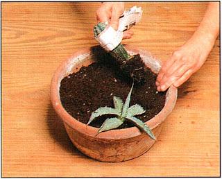 Если ваш кактус очень колючий, оберните его полоской из сложенной бумаги, как здесь