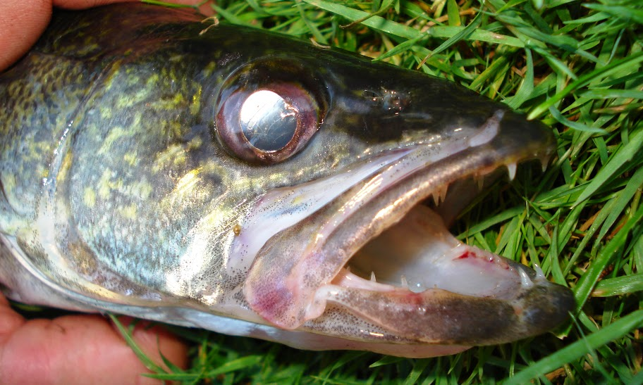 Ben cantrell 39 s fish species blog yahara river in madison wi for Rock bass fish