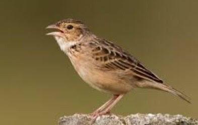 Download Mp3 Suara Burung Baranjangan Terbaru 2015