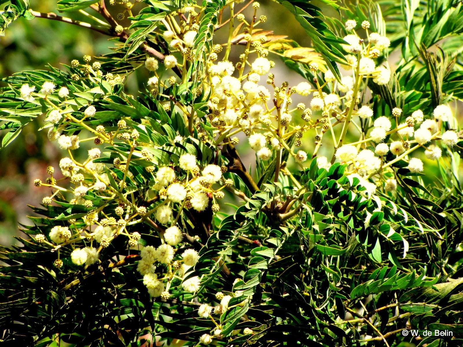 Sydneys Wildflowers And Native Plants Acacia Elata Cedar Wattle