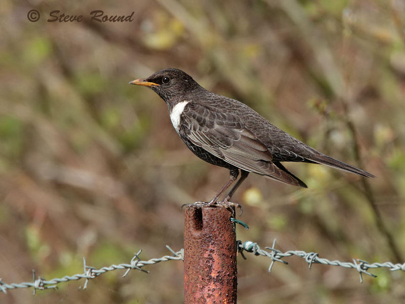 Ring Ouzel, bird, nature, wildlife, thrush, mountain blackbird