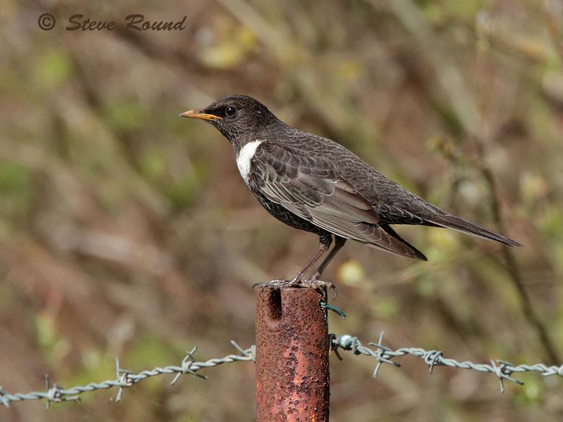 Ring Ouzel, bird, nature, wildlife, thrush, mountain blackbird