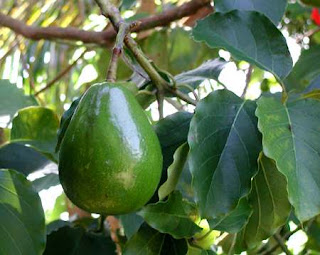 buah alpukat