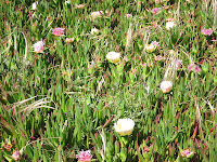 ice plant at Point Reyes