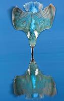 Pássaro refletido na hora exata de mergulho rende prêmio a fotógrafo
