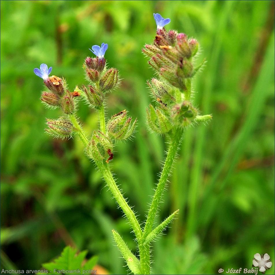 Anchusa arvensis - Farbownik polny kwiatostan