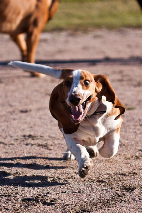 Running Basset Hounds ~ Damn Cool Pictures Basset Hound Running