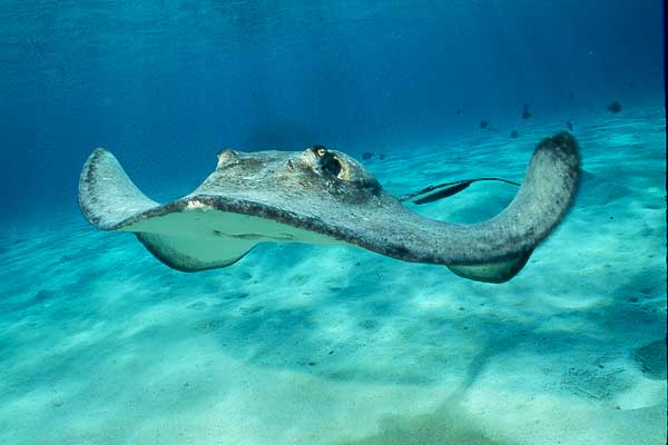 ... on what species of stingray it is some species of stingray in