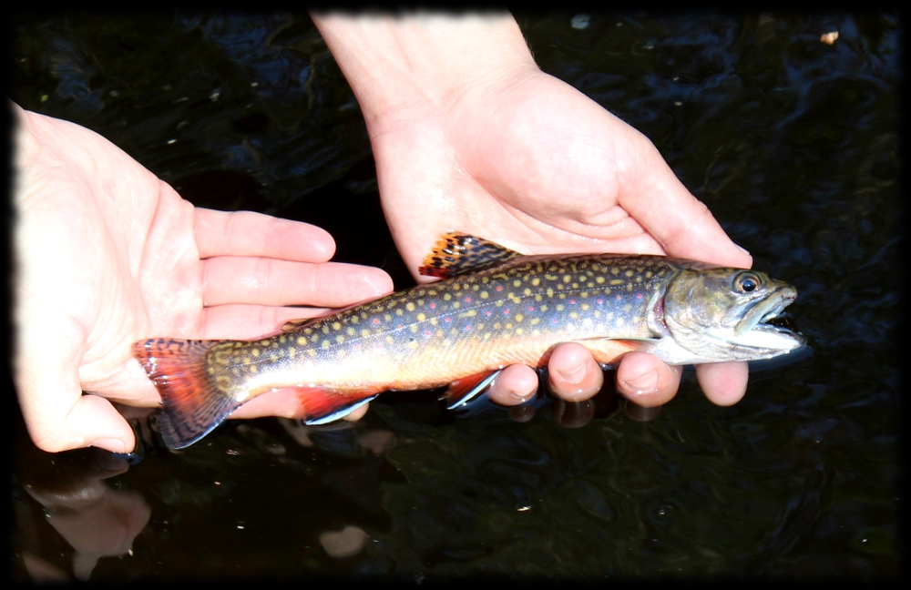 Illinois wisconsin fishing wisconsin 39 s northwoods brook for Trout fishing illinois
