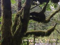 Moss-laden Tree