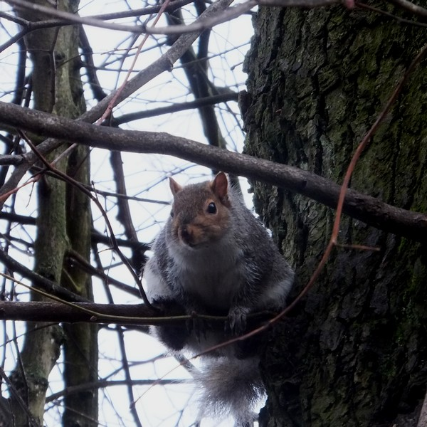 bristol écureuil