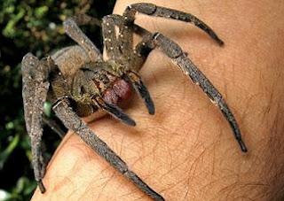 العنكبوت البرازيلي الأكثر سمية في العالم