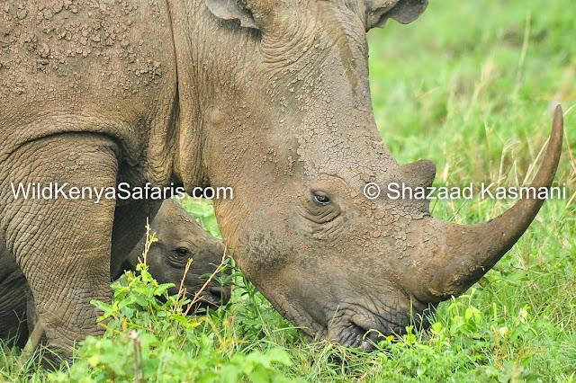 Shazaad Kasmani, Wild Kenya Safaris, Diani Safari, Kenya Safari, Kenya Wildlife,