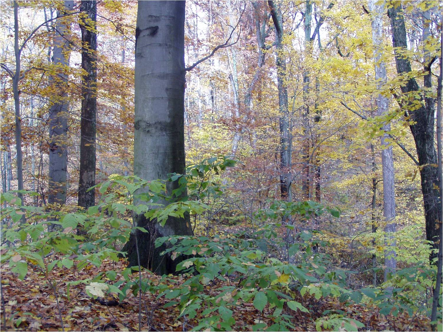Beech Maple Forest ~ Miami valley land renewal survey of the wilderness