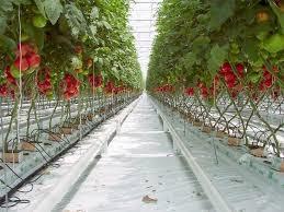 Budidaya buah tomat yang merah dan besar