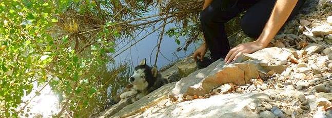 perro husky justo antes del rescate en Alfaro