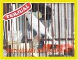 Kenari Betina AF Siap Banting Harga Code 27