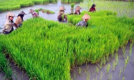 Sawah di Ngawi, Jatim. Ibu-ibu sepuh | beritajatim.com
