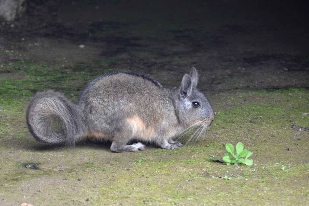 Machu Picchu viscacha