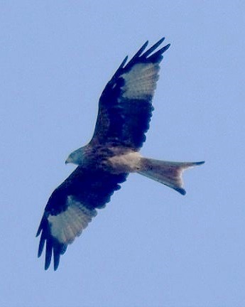 Red Kite