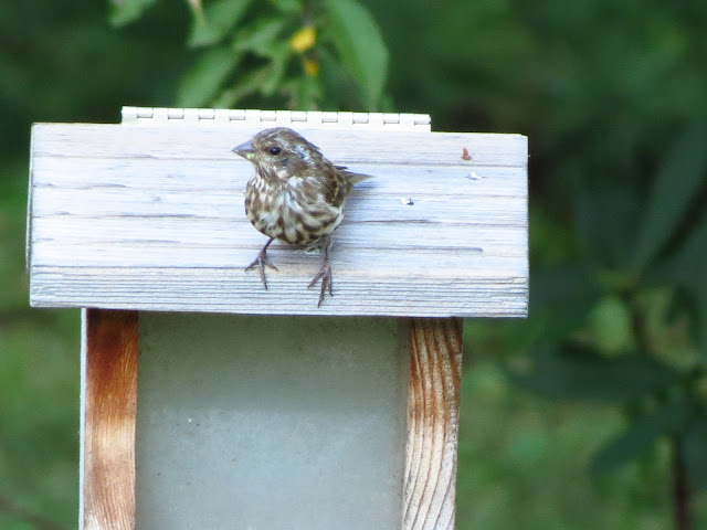 purple finch front view