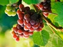 cara Budidaya anggur, budidaya anggur, cara menanam anggur