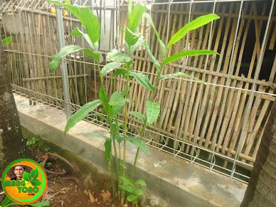 Cara menanam Lengkuas di Pekarangan Rumah.