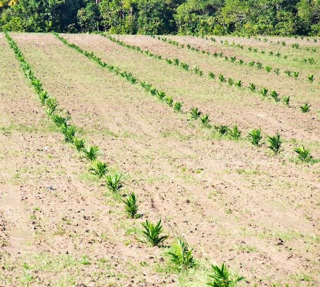 campos de palma africana por Hachero