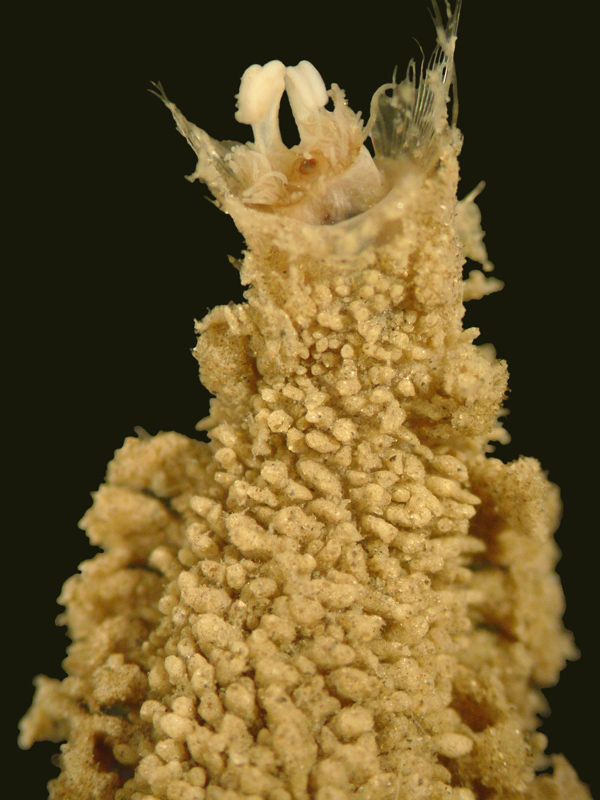 Flabelliderma Ockeri, a polychaete worm named in honor of David Ocker by Sergio Salazar-Vallejo
