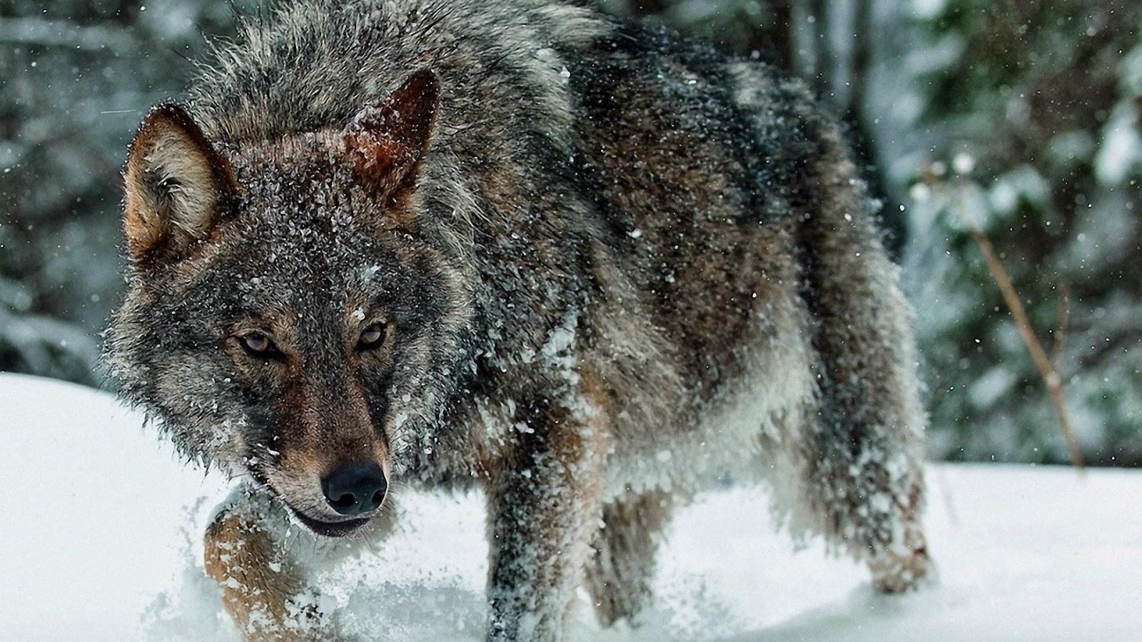 Волк Социальная структура волчьей стаи.