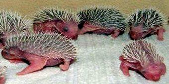 Erizos bebés