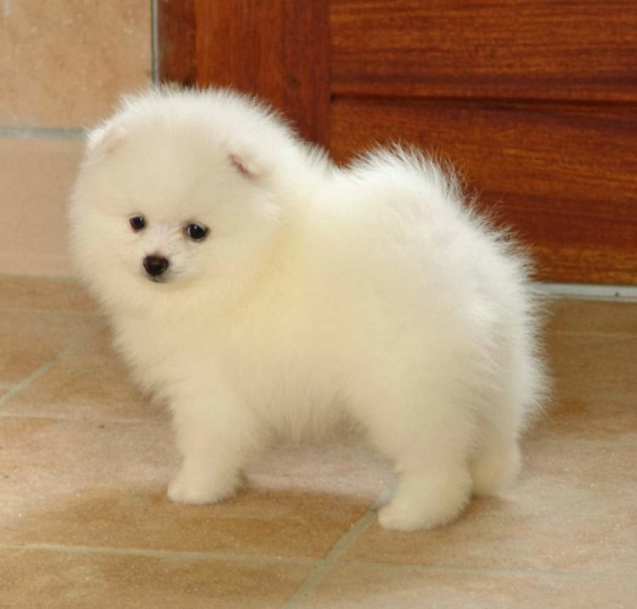 How to Groom a Pomeranian?