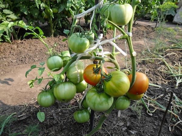 Листья помидоров удалены