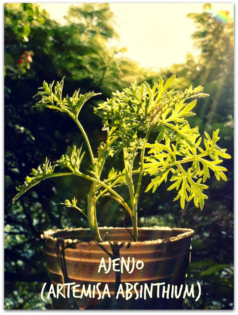 plantin artemisia absinthium