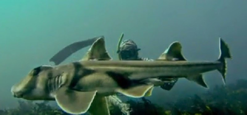 Video of Port Jackson shark  (bullhead shark) swimming in Australia