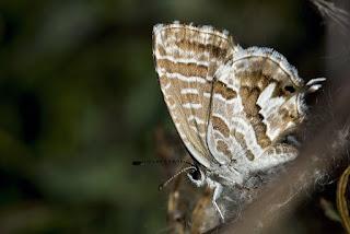 Para ampliar Cacyreus marshalli (Mariposa africana, taladro del geranio) hacer clic