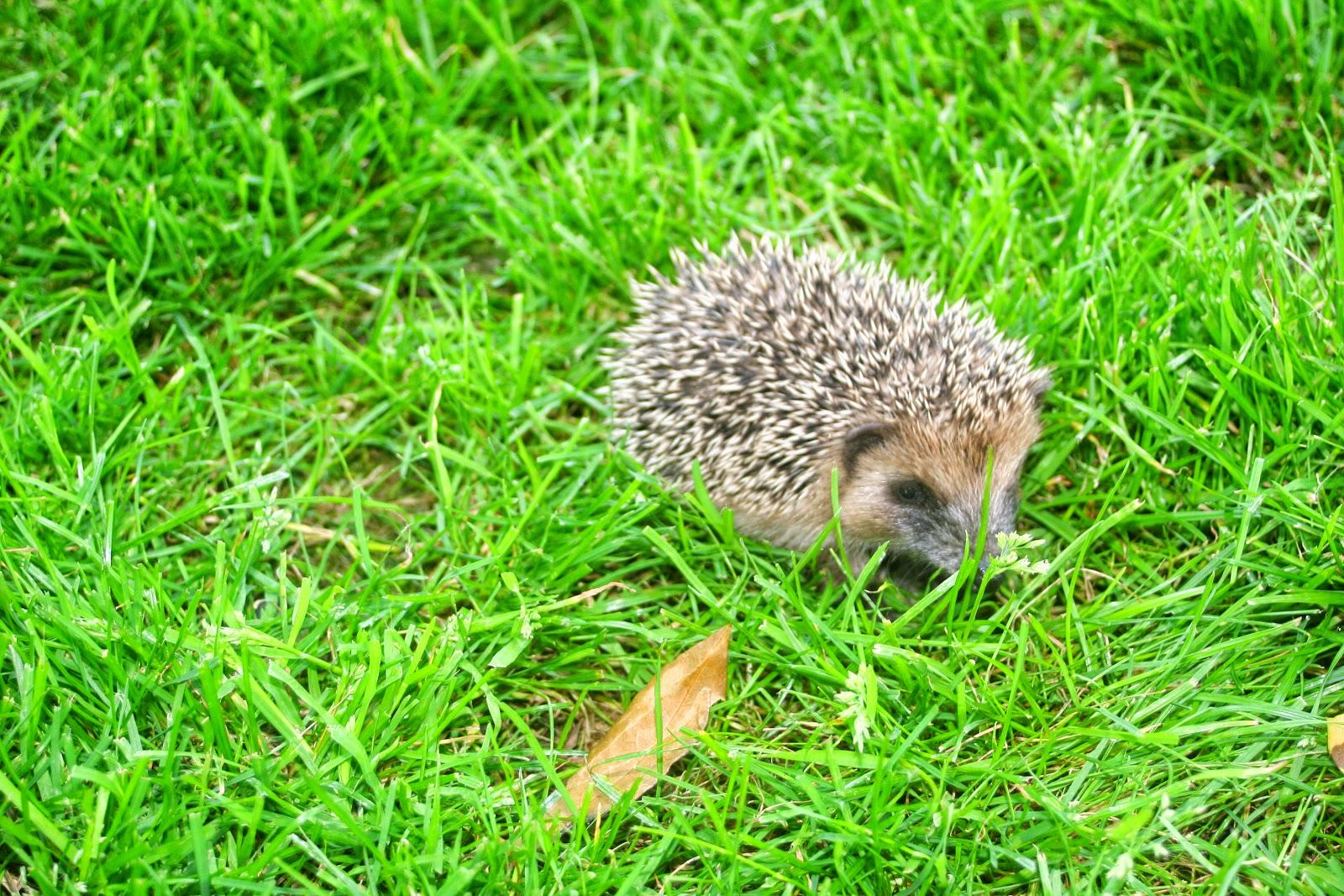 Good news bonnes nouvelles un b b h risson dans mon jardin for Herisson dans mon jardin