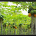 Klasifikasi dan Morfologi Tumbuhan Pepaya Carica papaya L