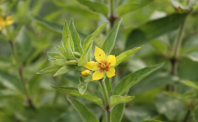 Lysimachia Punctata Flowers
